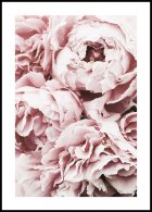 Peonie rosa Poster