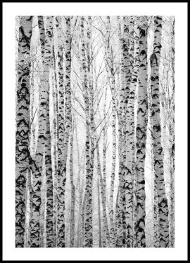 Foresta di Betulle Poster